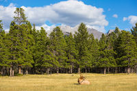 Deer with branchy horns lies in a grass