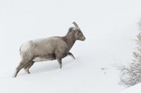 in harsh weather conditions... Bighorn Sheep *Ovis canadensis*