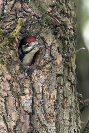 looking out of nest hole... Great Spotted Woodpecker *Dendrocopos major*