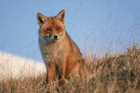 Red fox in the late winter