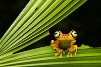Imbabura Treefrog, Choco forest, Ecuador