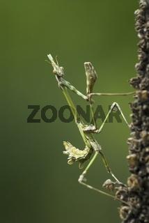 Hauben-Fangschrecke, Larve, Empusa fasciata, Praying Mantis, grub