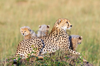 Cheetah lying and posing with her young cubs