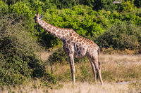 Giraffes feeding eating around the treetops