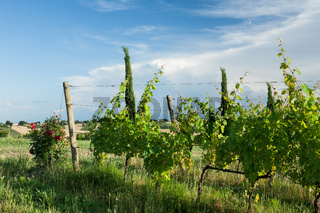 Grapevines in the vineyard