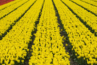 Field of yellow tulips of the species Yellow Purissima for the production of tulip bulbs,Netherlands