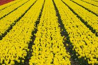 Feld mit gelben Tulpen der Sorte Yellow Purissima zur Produktion von Tulpenzwiebeln in der Blumenzwiebelregion Bollenstreek
