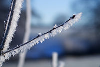 Ice flowers on plant in winter