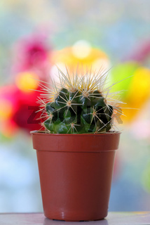 Cactus in pot on table