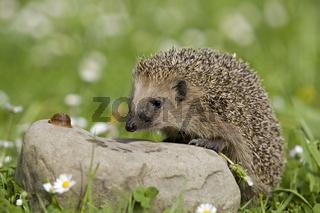 Igel und Schnecke, hedgehog and snail