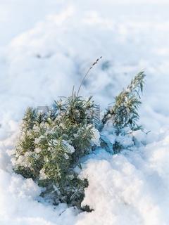 Lavender under the snow