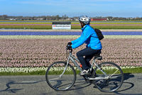 Biker passing by a field of blossoming hyacinths, Noordwijkerhout, Netherlands