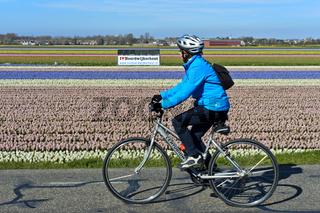 Radfahrer passiert Feld mit blühenden Hyazinthen, Noordwijkerhout, Niederlande