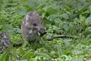 Wildschweine (Sus scrofa), Frischling, Schleswig Holstein, Deutschland, Europa
