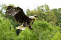 Big bald Eagle (Haliaeetus albicill)