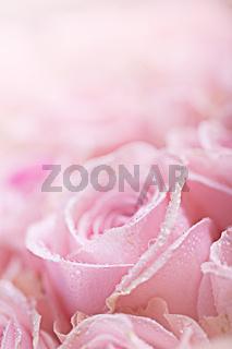 Rosa Rosen mit Tautropfen