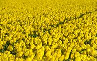 Field of yellow tulips, Bollenstreek, Netherlands