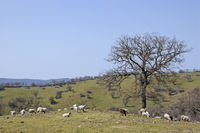 Tuscan landscape with sheep
