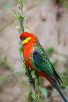 Colorful Western rosella perching on a branch, profile, Gloucester National Park, Western Australia