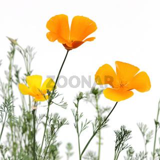 Goldmohn,  california poppies,  eschscholzia californica