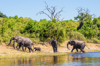The elephants crossing river in shallow water