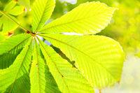 Yellow leaf of chestnut