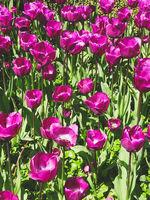 purple tulip flower field  - flower in meadow