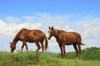 Two horses in Marche