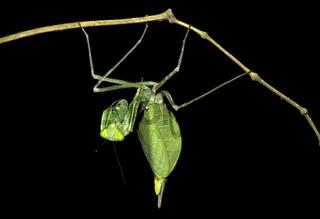 Neotropische Gottesanbeterin (Weibchen), Choco forest, Ecuador