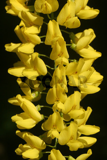 Blüten des Goldregen