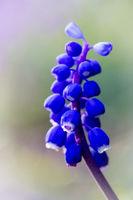 Grape hyacinth - Muscari