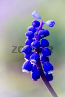 Traubenhyazinthe oder Perlhyazinthe - Muscari