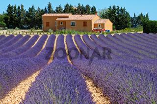 Lavendel, Plateau de Valensole,Provence,Frankreich