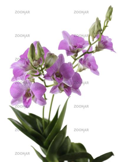Dendrobium orchid Compactum