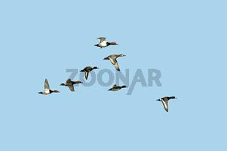 Reiher- und Tafelenten im Flug