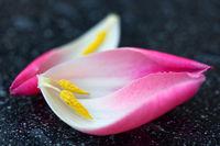 Pink Tulips petals macro shot.