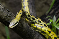 Schönnatter (Elaphe taenuira), captive, Vorkommen Malaysia