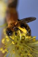 red mason bee on a catkin
