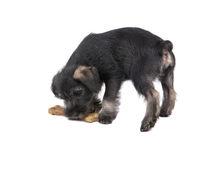 Mittelschnauzer puppy  isolated on white background eats a bone