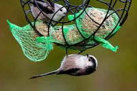 long tailed tits on a fat ball