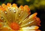 Ringelblume mit Wassertropfen