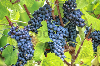 Reife Spätburgunder Trauben mit herbstlichen Weinblättern