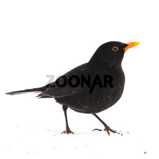 männliche Amsel (Turdus merula) - blackbird (Turdus merula)