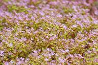 Teppich-Sedum, Sedum spurium - Caucasian stonecrop, Sedum spurium a Crassulaceae plant