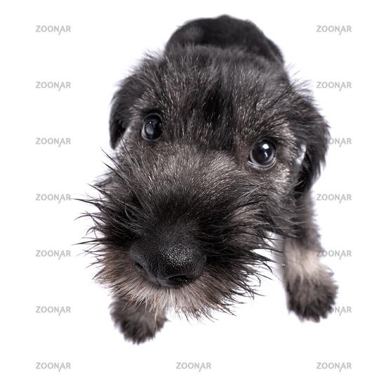 Mittelschnauzer puppy  isolated on white background