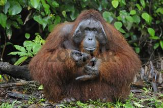 Borneo-Orang-Utan Männchen / Orangutan / Pongo pygmaeus