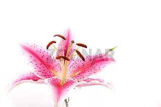 Rosa Lilien