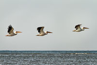 three great pelicans in flight over water ( Pelecanus onocrotalus ) in Danube Delta