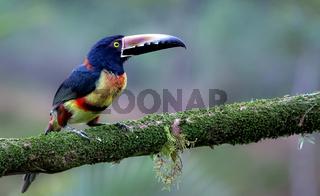 Halsbandarassari im Urwald Costa Ricas