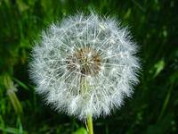 blowball flower - dandelion flower closeup
